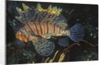 Common Lionfish by Corbis