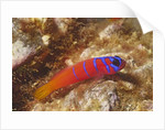 Bluebanded Goby by Corbis