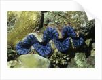 Boring Giant Clam by Corbis
