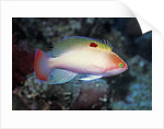 Stocky Anthias by Corbis