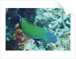 Chain-Lined Wrasse by Corbis