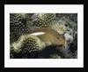 Arc-Eye Hawkfish by Corbis