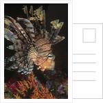 Common Lionfish closeup by Corbis