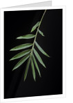 Arundinaria sp. (bamboo) - leaf by Corbis