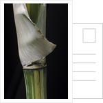 Bambusa multiplex 'Alphonse Karr' (bamboo) - shoot by Corbis