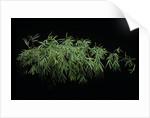 Chusquea coronalis (mexican climbing bamboo) by Corbis
