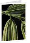 Hibanobambusa tranquillans 'Shiroshima' (Shiro-shima-inyÃinyouchikuzoku, bamboo) - leaf by Corbis