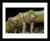 Phyllostachys aurea (golden bamboo, fish-pole bamboo) - rhizome bud by Corbis