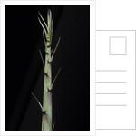Phyllostachys aureosulcata 'Aureocaulis' (yellow groove bamboo) - shoot by Corbis