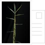 Phyllostachys bambusoides 'Castillonii' (Castillon bamboo) - shoot by Corbis