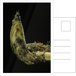 Phyllostachys pubescens (Moso bamboo) - rhizome bud by Corbis