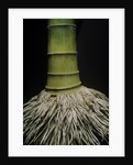 Phyllostachys pubescens (Moso bamboo) - roots by Corbis