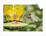 Ruby-throated Hummingbird by Corbis