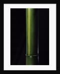 Phyllostachys viridis 'Houzeau' (Houzeau bamboo) by Corbis