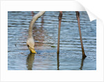 Greater flamingo (Phoenicopterus roseus) by Corbis