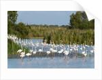 Greater flamingos (Phoenicopterus roseus) by Corbis