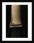 Semiarundinaria fastuosa (narihira bamboo) - young culm by Corbis