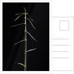 Sinobambusa rubroligula (bamboo) - shoot by Corbis