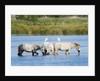 Camargue wild horses by Corbis