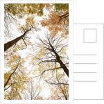 Wood takes on the warm colors of autumn, Prealpi Carniche , friuli Friuli-Venezia Giulia, Carnia by Corbis
