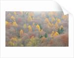 The mixed forest in autumn wears his best dress, Alpi Carniche , Friuli-Venezia Giulia, Carnia by Corbis
