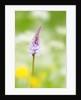 The delicate orchid, Val d'Arzino , Friuli-Venezia Giulia, Carnia , Europe, Italy, Europa Itali by Corbis