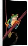 Agalychnis callidryas (red-eyed treefrog ) by Corbis
