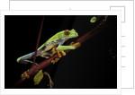 Agalychnis callidryas (red-eyed treefrog) by Corbis