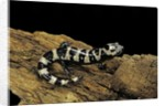 Ambystoma opacum (marbled salamander) by Corbis