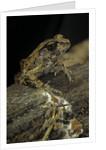 Arthroleptis stenodactylus (savanna squeaking frog) by Corbis