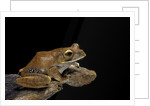Boophis madagascariensis (Madagascar bright-eyed frog) by Corbis