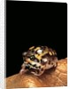 Breviceps adspersus (common rain frog, Transvaal short-headed frog) by Corbis