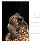 Bufo americanus (eastern american toad) by Corbis