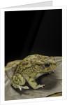 Amietophrynus garmani (Garman's toad) by Corbis
