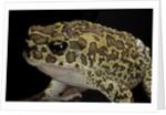 Bufo mauritanicus (berber toad) by Corbis