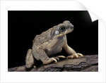 Anaxyrus punctatus (red-spotted toad) by Corbis