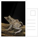Ceratobatrachus guentheri (Gunther's triangle frog) by Corbis