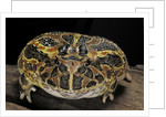 Ceratophrys ornata (ornate horned frog, escuerzo) by Corbis