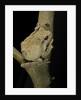 Chiromantis xerampelina (grey foam-nest treefrog) by Corbis