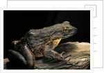 Conraua goliath (giant frog) by Corbis