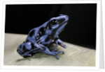 Dendrobates auratus f. blue (green and black poison dart frog) by Corbis