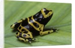Dendrobates leucomelas (yellow-banded poison dart frog) by Corbis