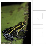 Ranitomeya ventrimaculata (reticulated poison frog) by Corbis