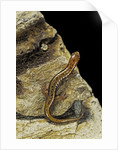 Eurycea bislineata (northern two-lined salamander) by Corbis