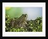 edible frog by Corbis