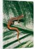Hemidactylium scutatum (four-toed salamander) by Corbis