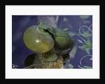 Hyla meridionalis (Mediterranean tree frog) by Corbis