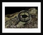 Hyla versicolor (gray treefrog) - eye by Corbis