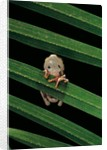 Hyperoliusi fusciventris (lime reed frog) by Corbis