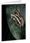 Hyperolius marmoratus parallelus (marbled reed frog, painted reed frog) by Corbis